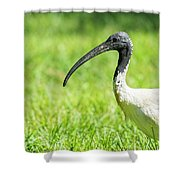 Australian White Ibis Shower Curtain by Rob D Imagery