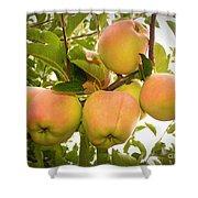 Backyard Garden Series - Apples In Apple Tree Shower Curtain
