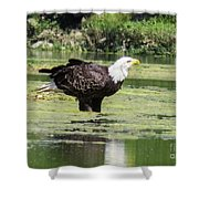 Bald Eagle's Look Shower Curtain