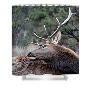 Bull Elk Grooms Himself Shower Curtain