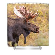 Bull Moose In Fall Colors Shower Curtain