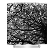 Cedars In The Mist Shower Curtain