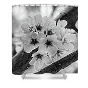 Cherry Blossoms 2019 E Shower Curtain