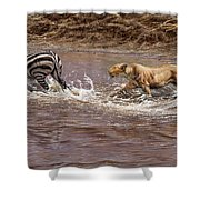 Closing In - Lion Chasing A Zebra Shower Curtain by Alan M Hunt