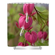 Common Bleeding Hearts, North America Shower Curtain