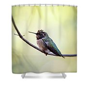Costa's Humminbird On A Branch  Shower Curtain