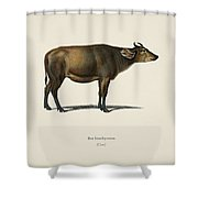 Cow  Bos Brachyceros  Illustrated By Charles Dessalines D' Orbigny  1806-1876  Shower Curtain