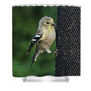 Cute Goldfinch At Feeder Shower Curtain