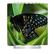 Eastern Black Swallowtail - Closed Wings Shower Curtain