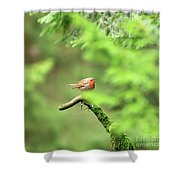 English Robin Erithacus Rubecula Shower Curtain