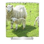 Ewe With Lambs Shower Curtain