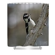 Female Downy Woodpecker Shower Curtain