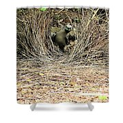Great Bowerbird With Nut Shower Curtain