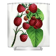Hepstine Raspberries Hanging From A Branch Shower Curtain