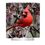 Img_0354-017 - Northern Cardinal Shower Curtain