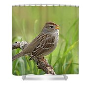 immature White-crowned Sparrow Shower Curtain