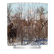 In Ninilchik A Moose Grazes In The Village In Late Winter Shower Curtain