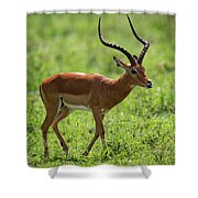 Male Impala Crossing Grassland With Tongue Out Shower Curtain