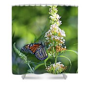 Monarch On White Butterfly Bush Shower Curtain