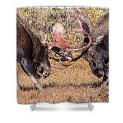 Moose Bulls Spar Close Up Shower Curtain