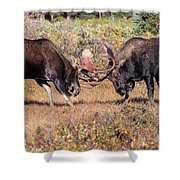 Moose Bulls Spar In The Colorado High Country Shower Curtain