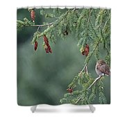 Northern Pygmy Owl Shower Curtain by Randy Hall