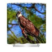Osprey Lookin' At Ya Shower Curtain by Tom Claud