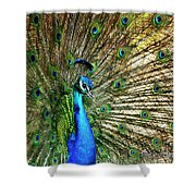 Peacock Full Bloom Shower Curtain by Charles McKelroy