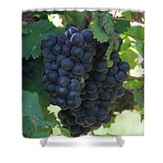 Purple Grape Bunches 13 Shower Curtain