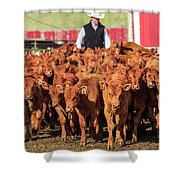 Red Angus Calves Shower Curtain