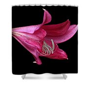 Red Easter Lily Shower Curtain by Ken Barrett