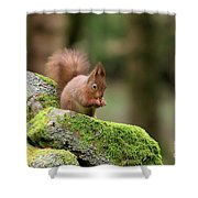 Red Squirrel Sciurus Vulgaris Eating A Seed On A Stone Wall Shower Curtain