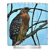 Red Shouldered Hawk Panorama Shower Curtain