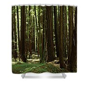 Redwood Trees Armstrong Redwoods St Shower Curtain