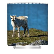 Reindeer Grazing In Spitzbergen Shower Curtain