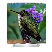 Rescued Ruby-throated Hummingbird Shower Curtain