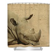 Resting Rhinoceros With His Head Down In A Sandy Area Shower Curtain