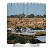 River-crossing Zebras Shower Curtain