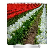 Rows Of White And Red Tulips Shower Curtain