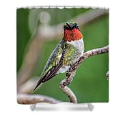 Ruby-throated Hummingbird In All His Glory Shower Curtain
