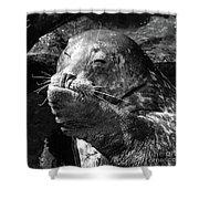 Sea Lion Pup Shower Curtain by Edward Fielding