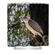 Shikra In The Wild Shower Curtain