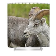 Stone's Sheep Ram Shower Curtain
