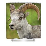 Stone's Sheep Ram Portrait Shower Curtain