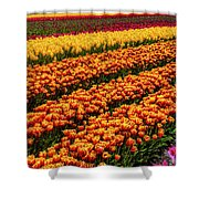 Stunning Rows Of Colorful Tulips Shower Curtain