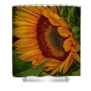 Sunflower Beauty Shower Curtain by Judy Hall-Folde