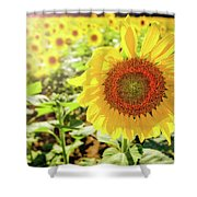 Sunflowers Shower Curtain by Robert Bellomy