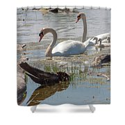 Swan Family Outting  Shower Curtain