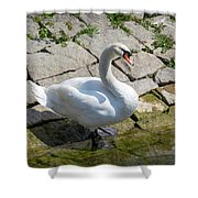 Swan Study 14 Shower Curtain