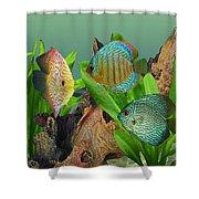 Three Discus Fish Shower Curtain